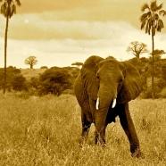 elephant sepia color