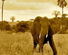 elephant sepia color